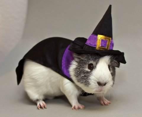 Guinea_Pig_Witch_Costume.jpg_Guinea_Pig_Witch_Costume_original