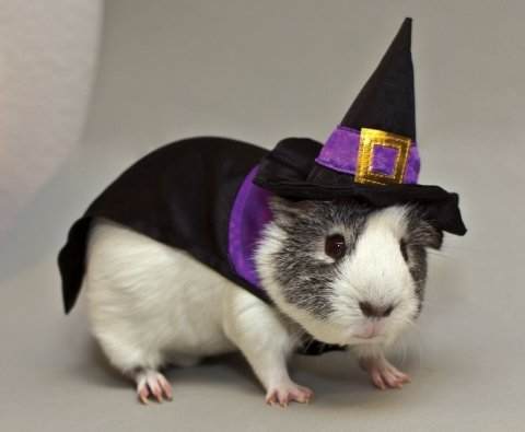 Guinea_Pig_Witch_Costume.jpg_Guinea_Pig_Witch_Costume_original